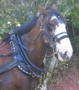 draft-driving-bridle