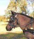 2024 pony bridle