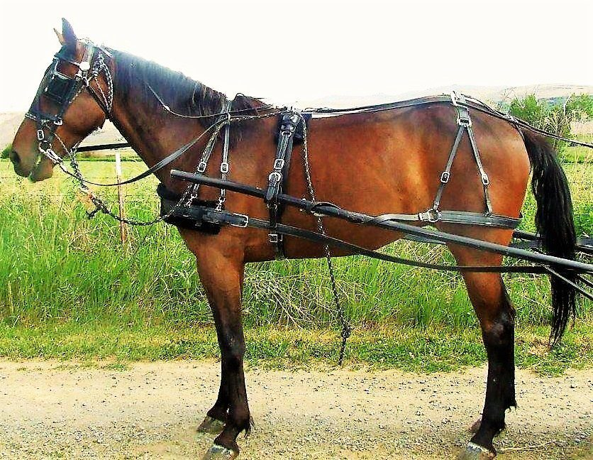 bridle buggy harness chimacum tack horse harness for sale at Horse Harness