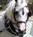 Comfy fit pony bridle DeLong 2016