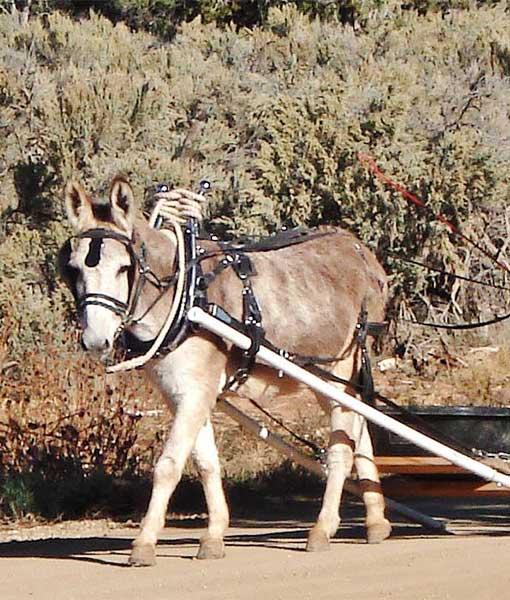 jasper harness collar farm work harness, mini donkey mule small donkey chimacum tack