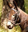 mule-bridle-racer