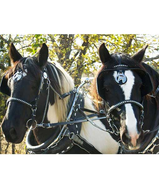 pair of draft horses wearing parade harness