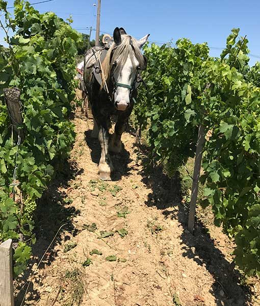 draft horse plowing wine vineyard