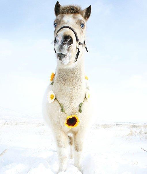 pony in snow wearing sunflower garland