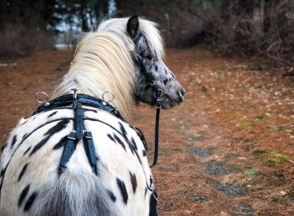 Miniature-Horse-Whiteman-Harness