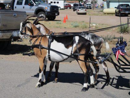 driving-goats