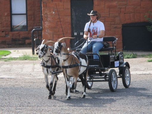 driving-goat-pair