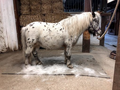 grooming-mini-horse